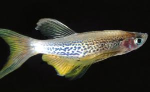 """דגי זברה הם בעלי חיים הגדלים במים מתוקים שאורכם 2.5 ס""""מ ומוצאם בדרום ודרום מערב אסיה. תמונה: מדע פופולארי"""