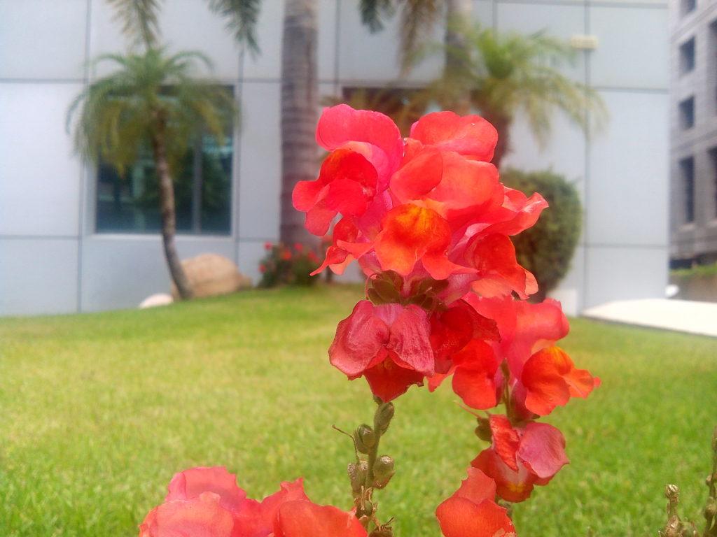 פרח הגיקימוס טיימוס כפי שנקלט בעדשת AMOI N828