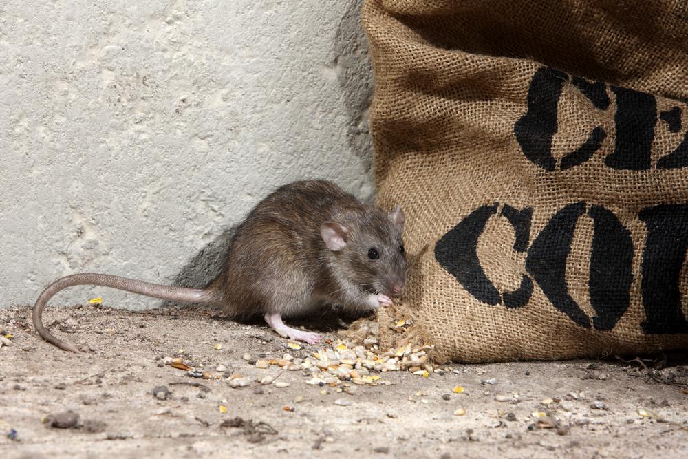 shutterstock rat