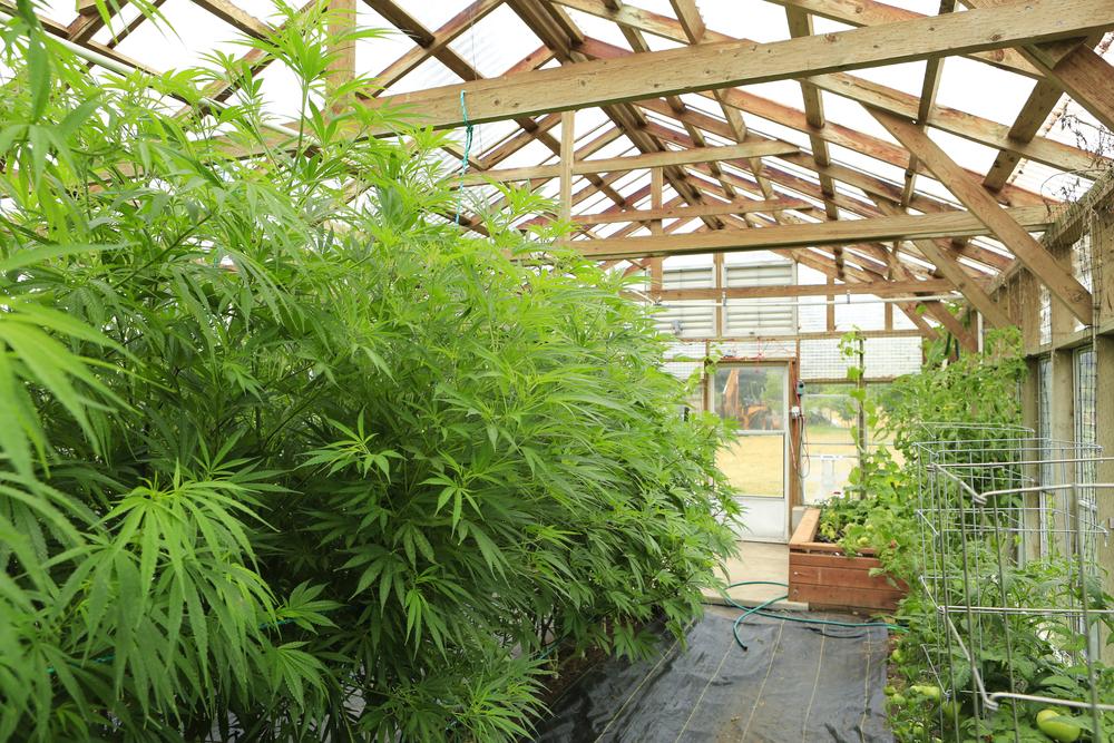 shutterstock cannabis