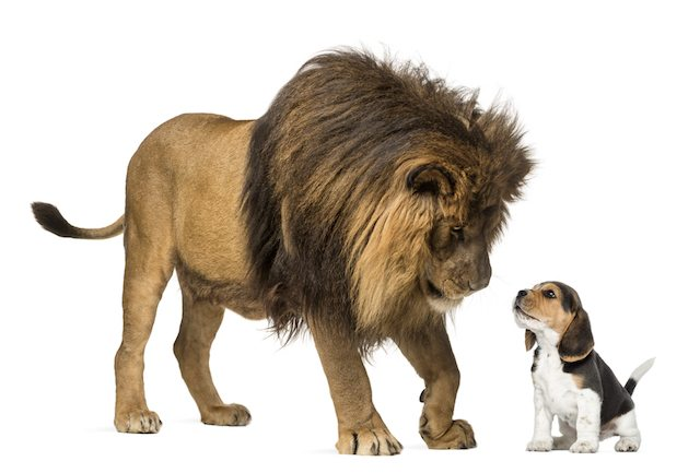 shutterstock lion and a dog