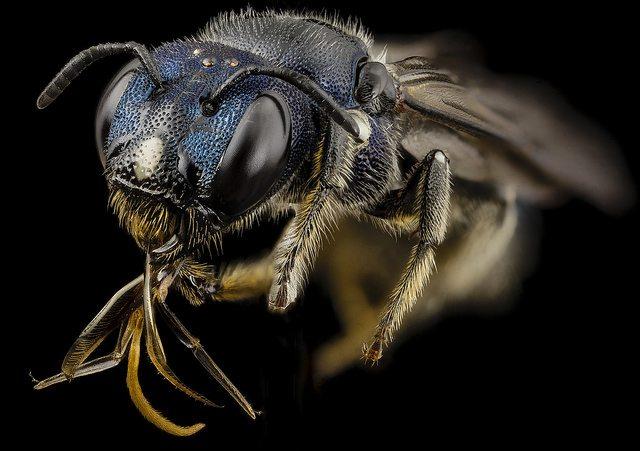 תמונה: flickr, cc-by USGS Bee Inventory and Monitoring Lab