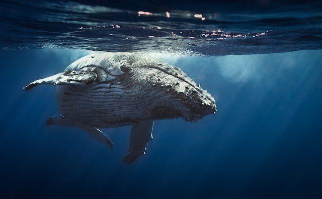 הלוויתן הכחול, שריד אחרון שנותר לעידן אחר לחלוטין