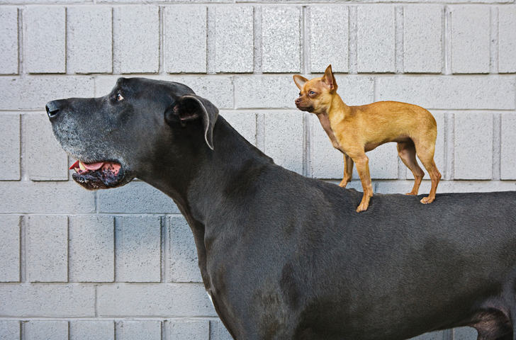 Chihuahua on Great Dane's back getty images
